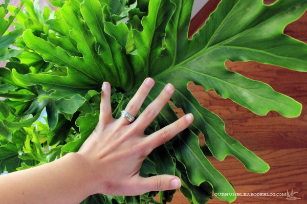 Big-Leaf-Philodendron-Leaf-Size
