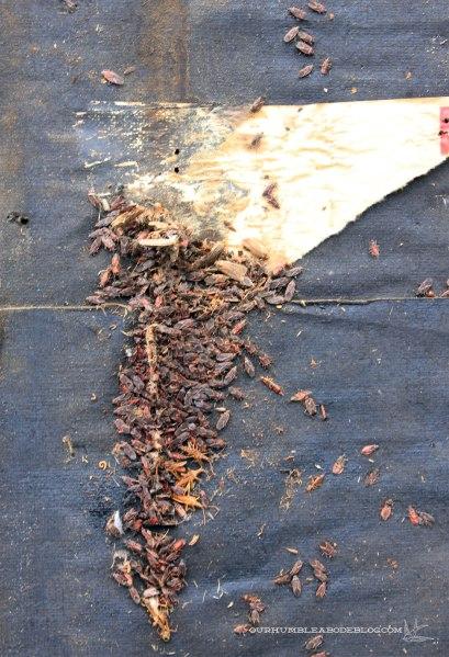 Boxelder-Bugs-Behind-Old-Siding