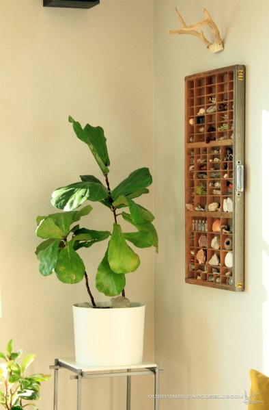 Fiddle-Leaf-Fig-in-Bucket-Planter