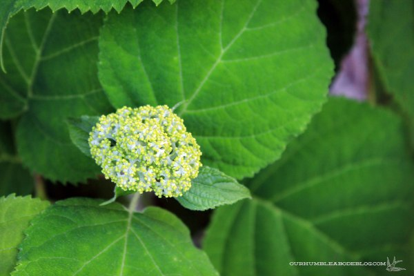 Hydrangea-Bud-in-Back-Cutting-Garden