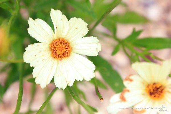 Big-Bang-Coreopsis