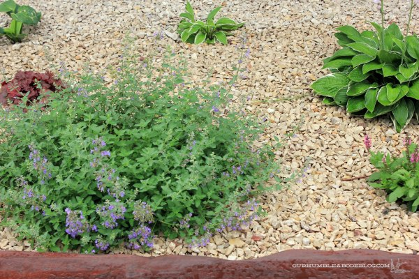 Catmint-Hosta-Coral-Bells