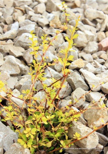 Golden-Dwarf-Barberry