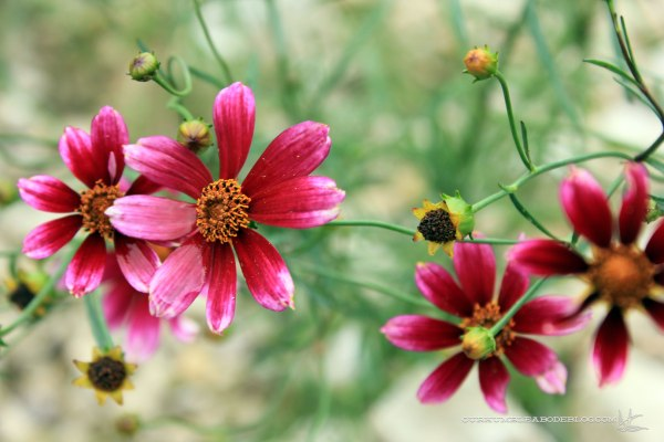 Show-Stopper-Coreopsis