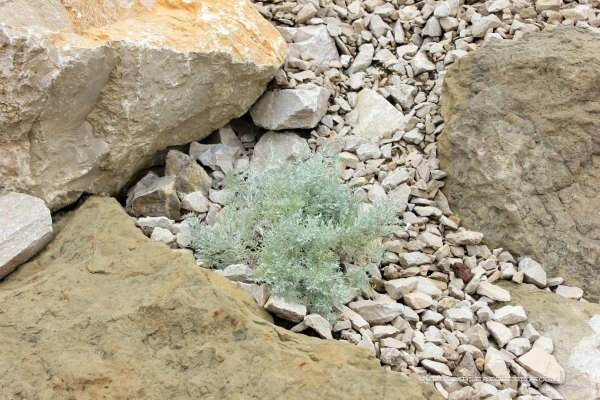 Wormwood-Silver-Mound