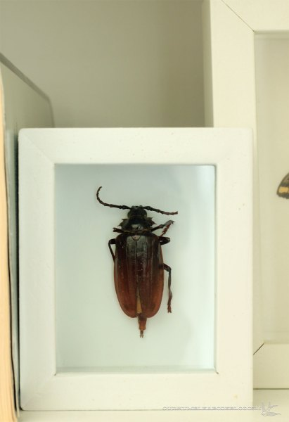 Beetle-in-Shadow-Box