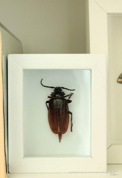 Beetle-in-Shadow-Box