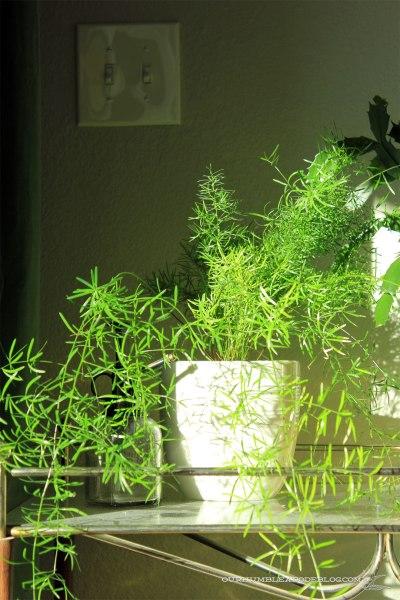 Asparagus-Fern-on-Plant-Stand