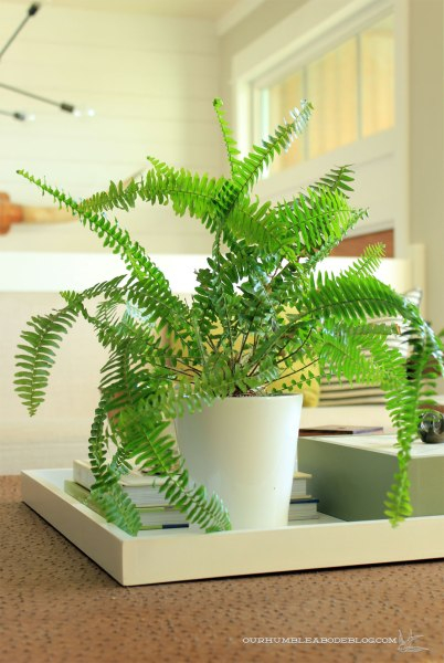 Australian-Sword-Fern-in-Living-Room