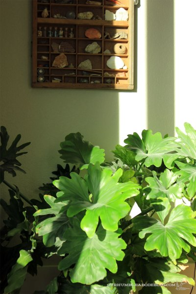 Big-Leaf-Philodendron-Plant-in-Living-Room