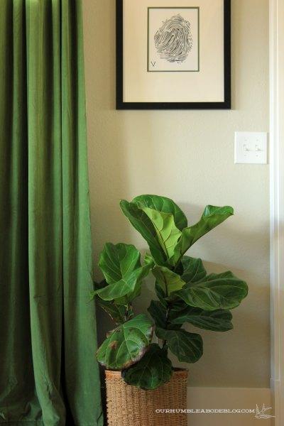 Fiddle-Leaf-Fig-in-Dining-Room