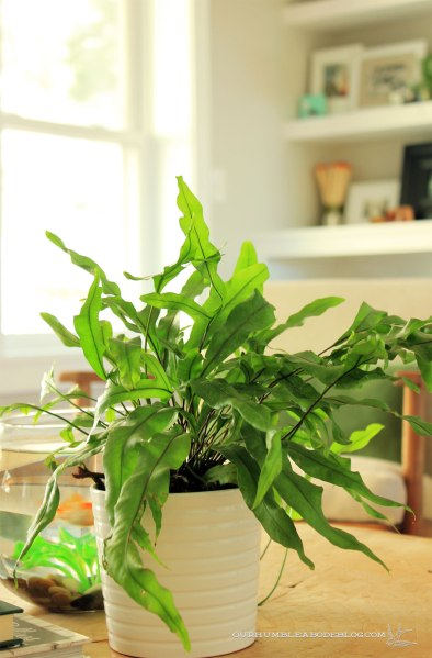 Kangaroo-Paw-Fern-on-Coffee-Table