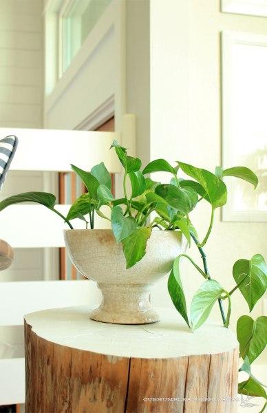 Pothos-in-Living-Room