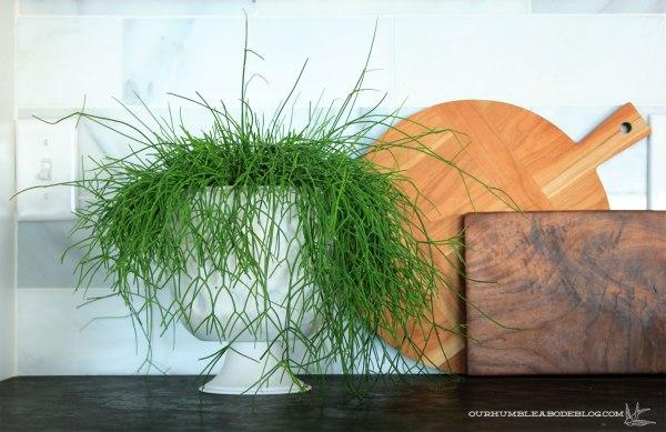 Rhipsalis-Plant-in-Kitchen
