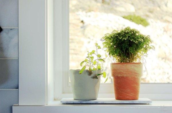 Selaginella-Snow-Top-Fern-on-Kitchen-Window-Sill