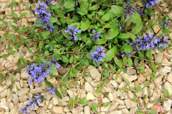 May-Garden-Ajuga