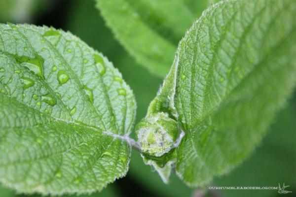 May-Garden-Hydrangea-BUds
