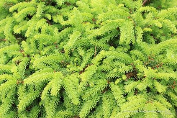 May-Garden-Nest-Spruce