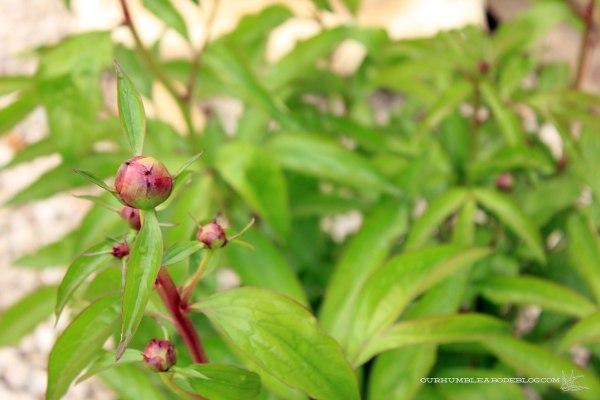May-Garden-Peonies