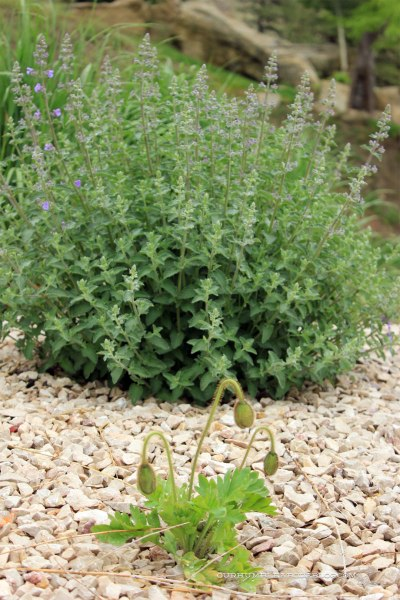 May-Garden-Poppies-and-Catmint