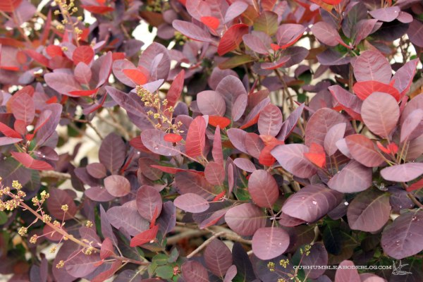 May-Garden-Smoke-Tree-Detail