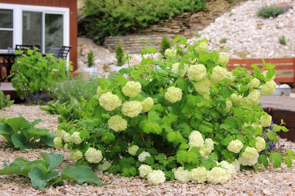 May-Garden-Viburnum