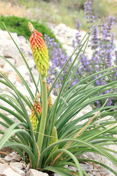June-Garden-Update-Red-Hot-Poker