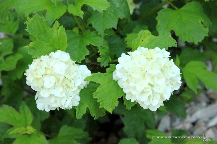 Back-Garden-Viburnum