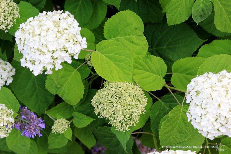 Landscape-June-2017-Hydrangea-Blooms