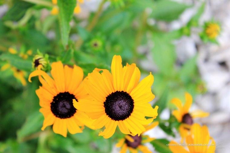 July-2018-Garden-Update-Black-Eyed-Susan