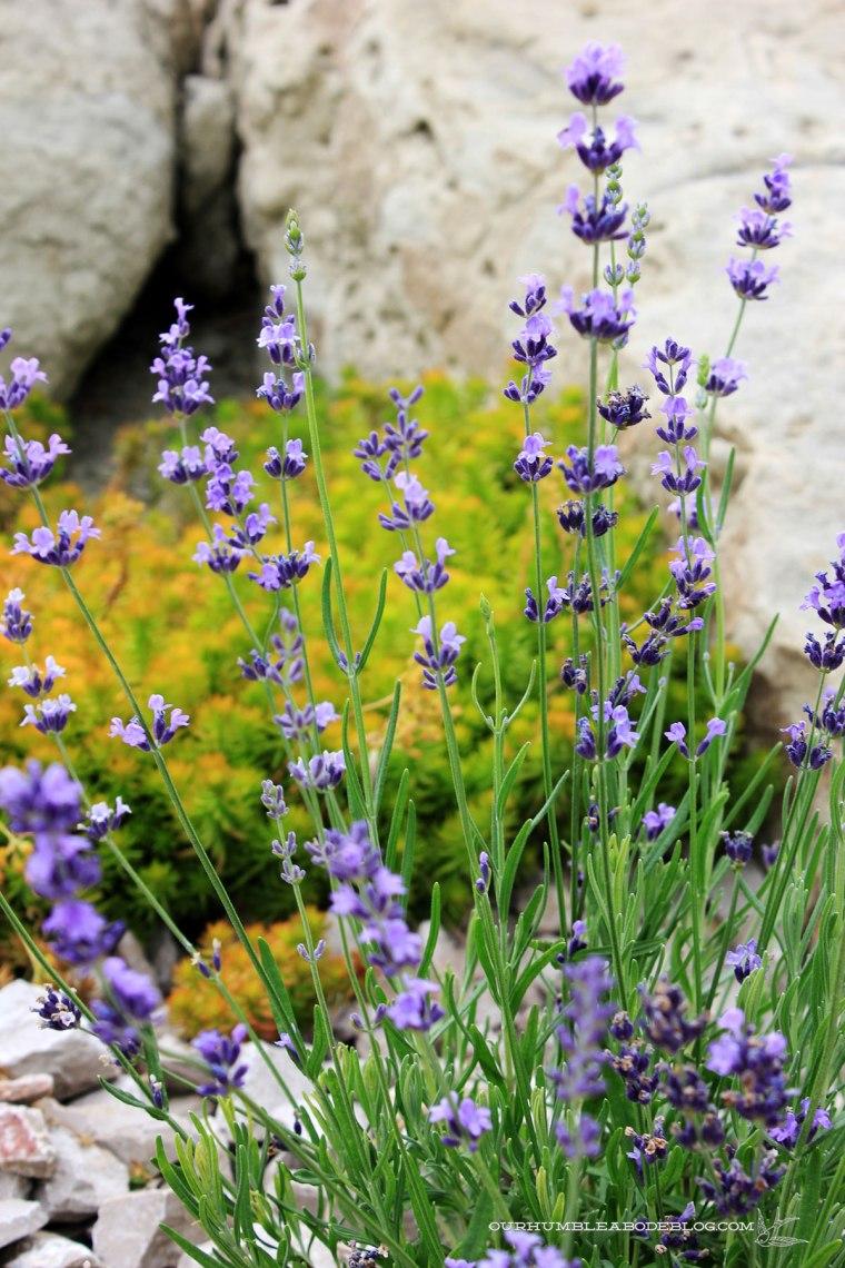 July-2018-Garden-Update-New-Lavender